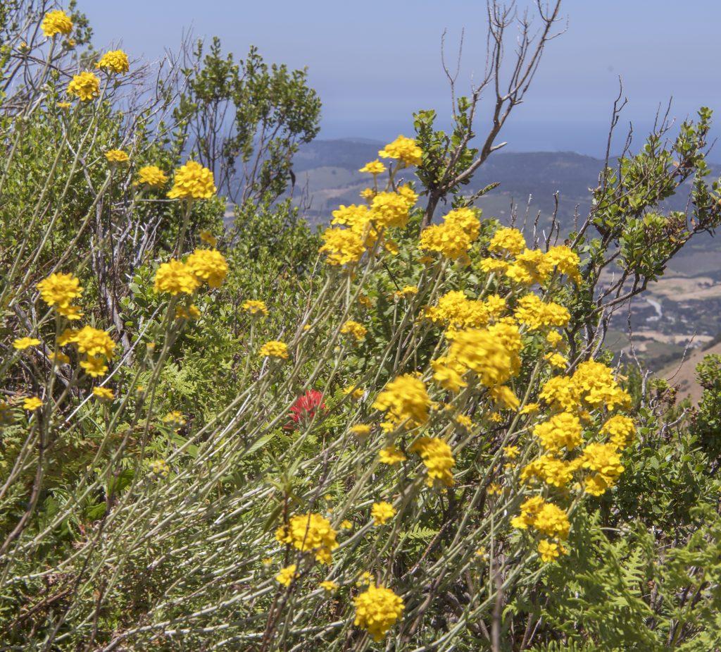 garland-pinyon-peak-flower-11x12-4.27.17-1024x925.jpg